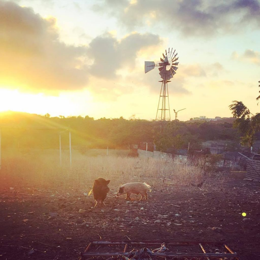 Hofi Cas Cora Farm